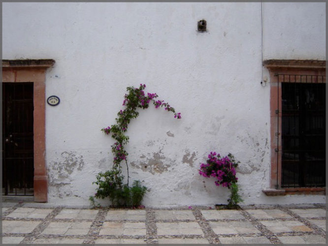 Bougainvillea with fucia blossums against a white stucco wall photographed by artist Damyn Young.
