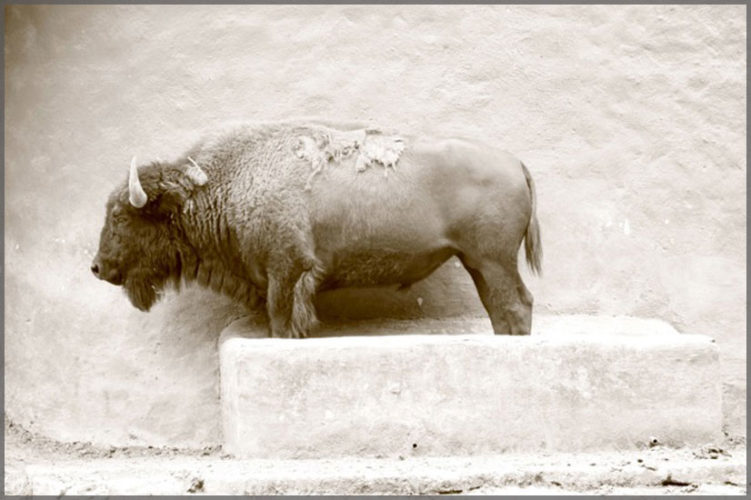 Artist Damyn Young, Sepia photograph of a buffalo standing in front of a stucco wall