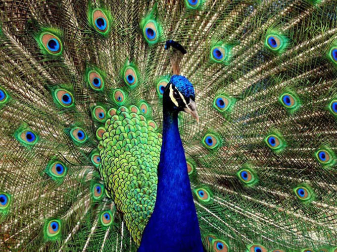 Brilliant blue peacock with its feathers open that you will find in the Ajijic Restaurant The Peacock Garden.