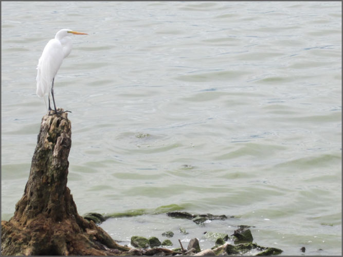 White bird on a tree stump in Lake Chapala.